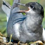 Брестские строители на месяц остановили работы, чтобы птица из Красной книги смогла вывести птенцов