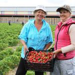 В ОАО «Ружаны-Агро» собрали первый урожай клубники
