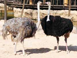 Каменецкий фермер снабжает национальный театр перьями чёрного африканского страуса