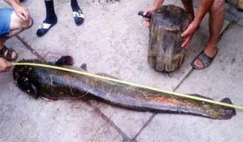 Житель Кобрина поймал двухметрового сома (ФОТО)