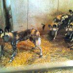 В сарае под Кобрином прятали 7 гиеновидных собак стоимостью 84 тысячи долларов