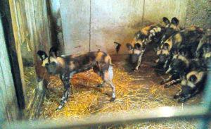 Гиеновидные собаки под Кобрином
