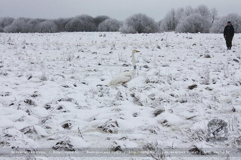 В Беловежской пуще рыбаки спасли лебедя, который вмерз в лёд